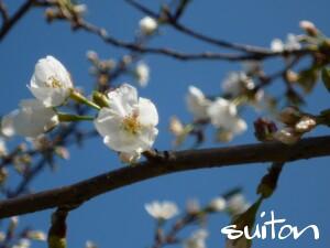 米子(弓ヶ浜公園)の桜です!