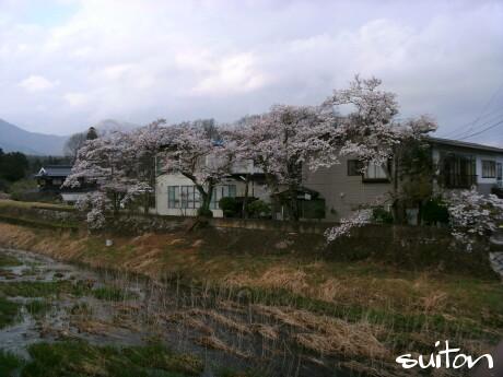 湯船川の桜!