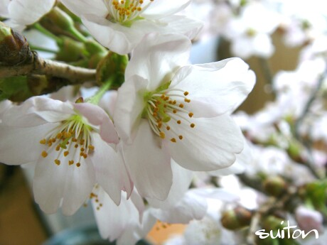 桜きれいです!