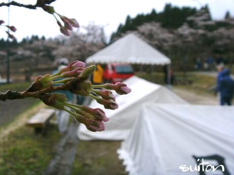 桜も準備万端ですが?!