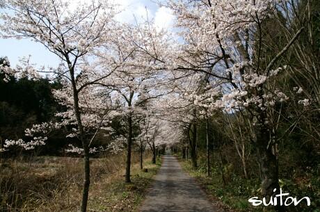桜のトンネルでございます!