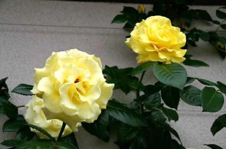 CLエバーゴールドと言う名前のバラ