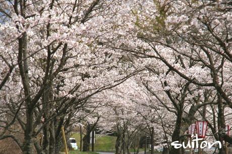 茅部神社の桜4月27日!