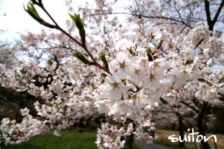 桜ちょっとアップ!