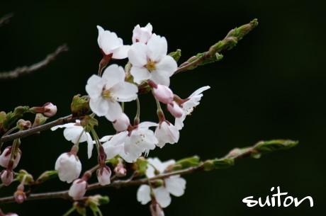 桜アップです!!