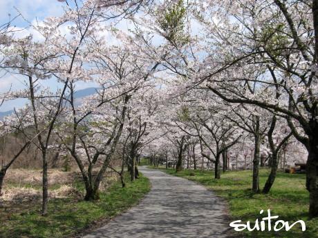 茅部神社の桜満開!