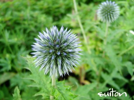 エキノプシスという花です!