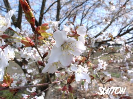 平成15年の桜ですIC横の…