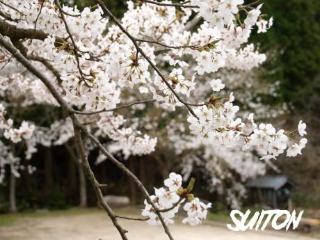 茅部神社の桜2013 その1