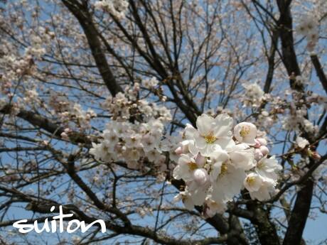 旧徳田小学校の桜2014です!